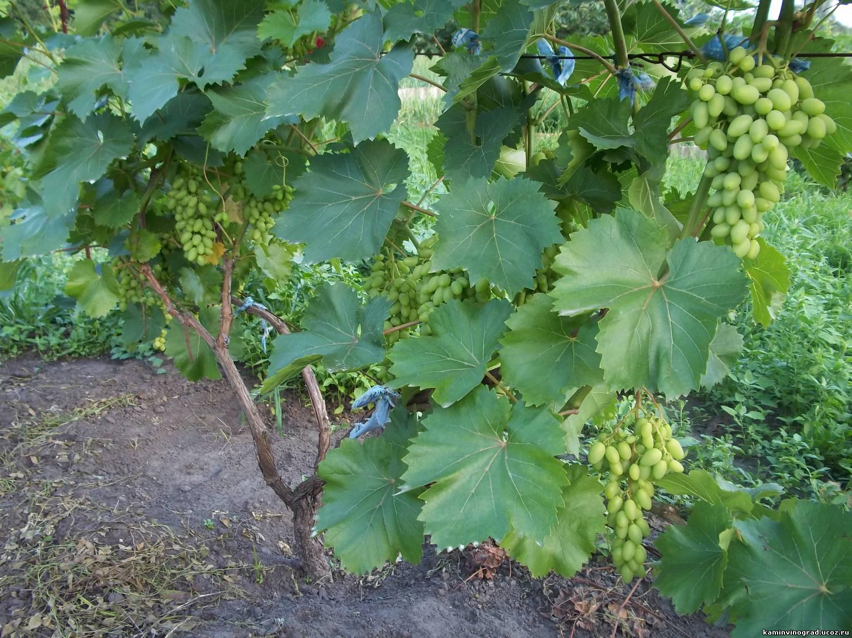 Как правильно обрезать виноград?